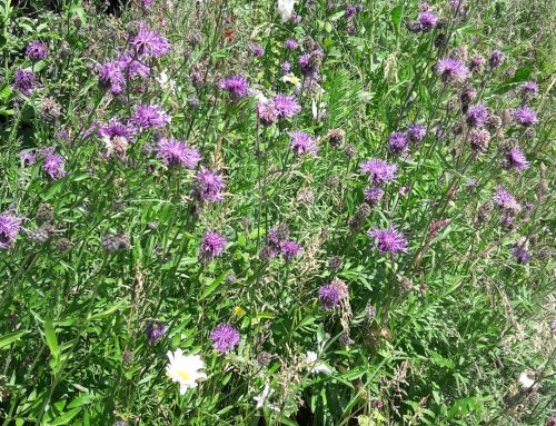 More wildlife and wildlfowers on our roadside verges