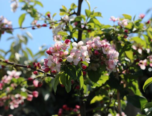 Tree in a box – crab apples for the garden