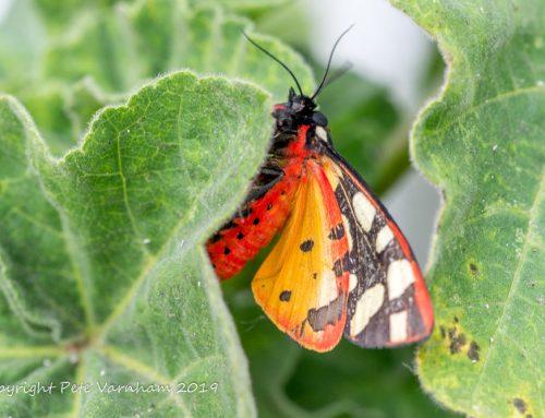 Moth Myths – and a Castle Hill celebration