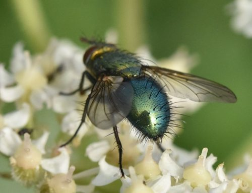Not just another greenbottle! Rare fly found on Blatchington golf course