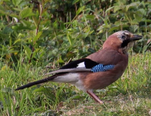 The oak tree planter – a jay at Hope Gap