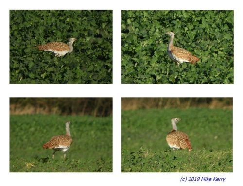 """Shepherd's wild turkey"" – Great bustard back in Sussex!"