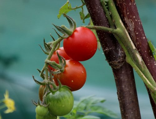 Talking Tomatoes.. growing tips from our community