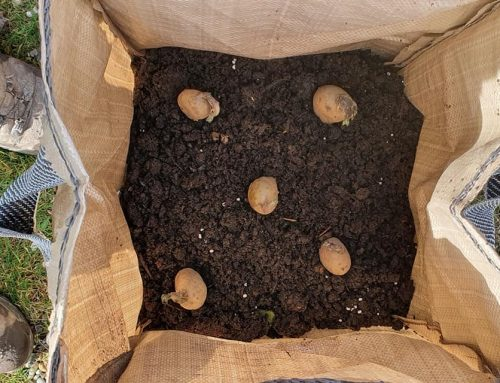 In the bag, one potato two potato.. tips from our community gardens