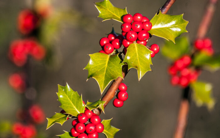 Holly (Ilex aquifolium) berries