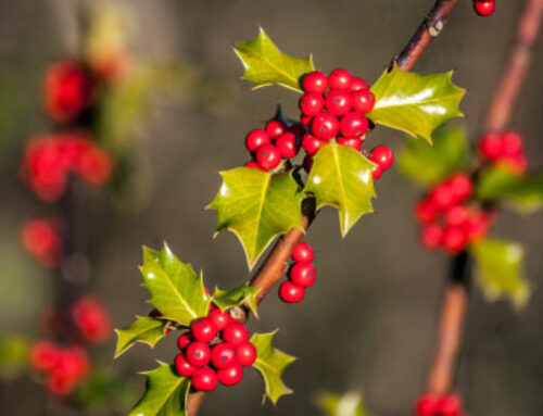 The holly and the ivy: The seasonal significance of Ilex aquifolium and Hedera helix
