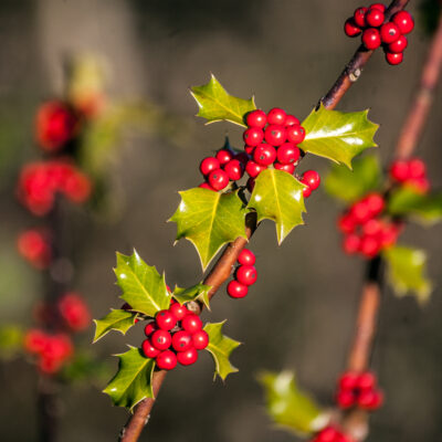 Holly (Ilex aquifolium) berries