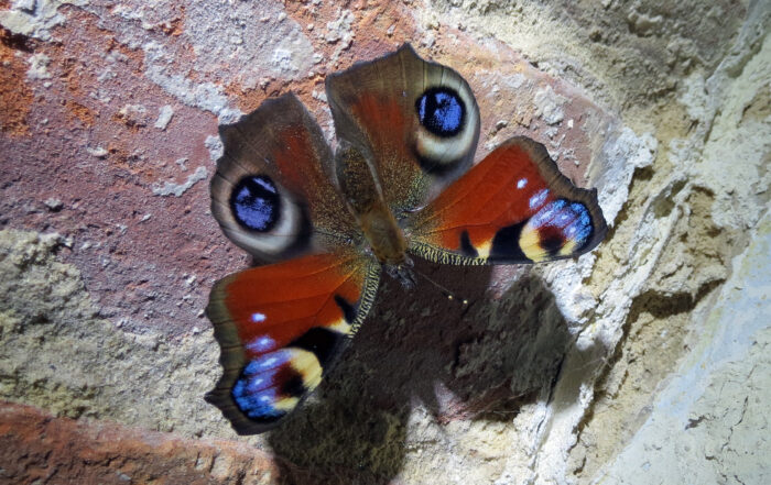 The adult peacock butterfly hibernates in unheated buildings.