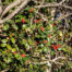 Holly (Ilex aquifolium) berries, Meeching Down