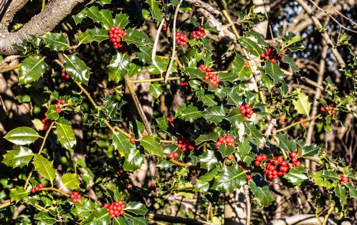 Holly (Ilex aquifolium) berries, Meeching Down