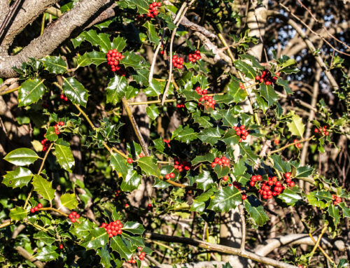 The holly and the ivy: Evergreen in winter