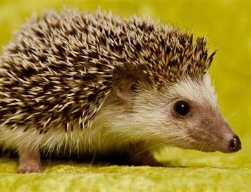 Give Hedgehogs a Home – Greenhavens Wilder Gardens