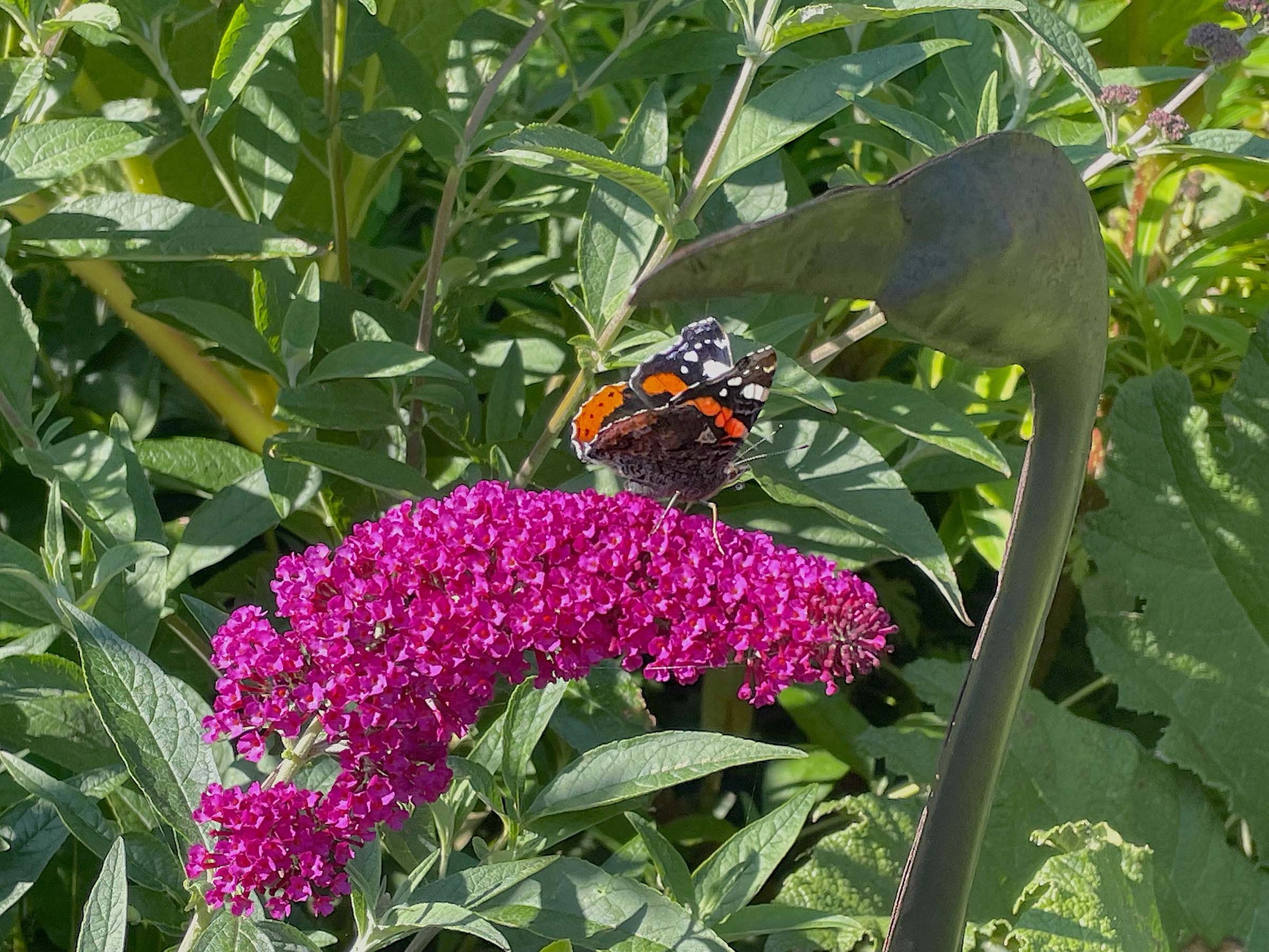 buddleja buzz magenta with butterfly at driftwood